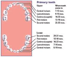 Importance of Primary (Baby) Teeth - Kids Smiles Pediatric ...